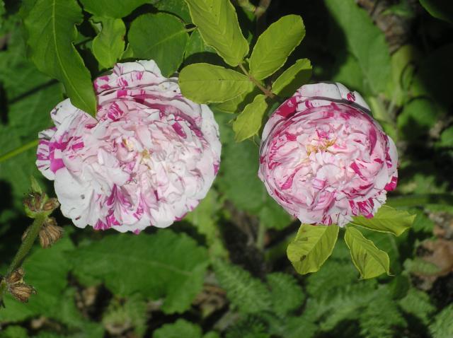 variegata di bologna Juin-2012-003-351d028